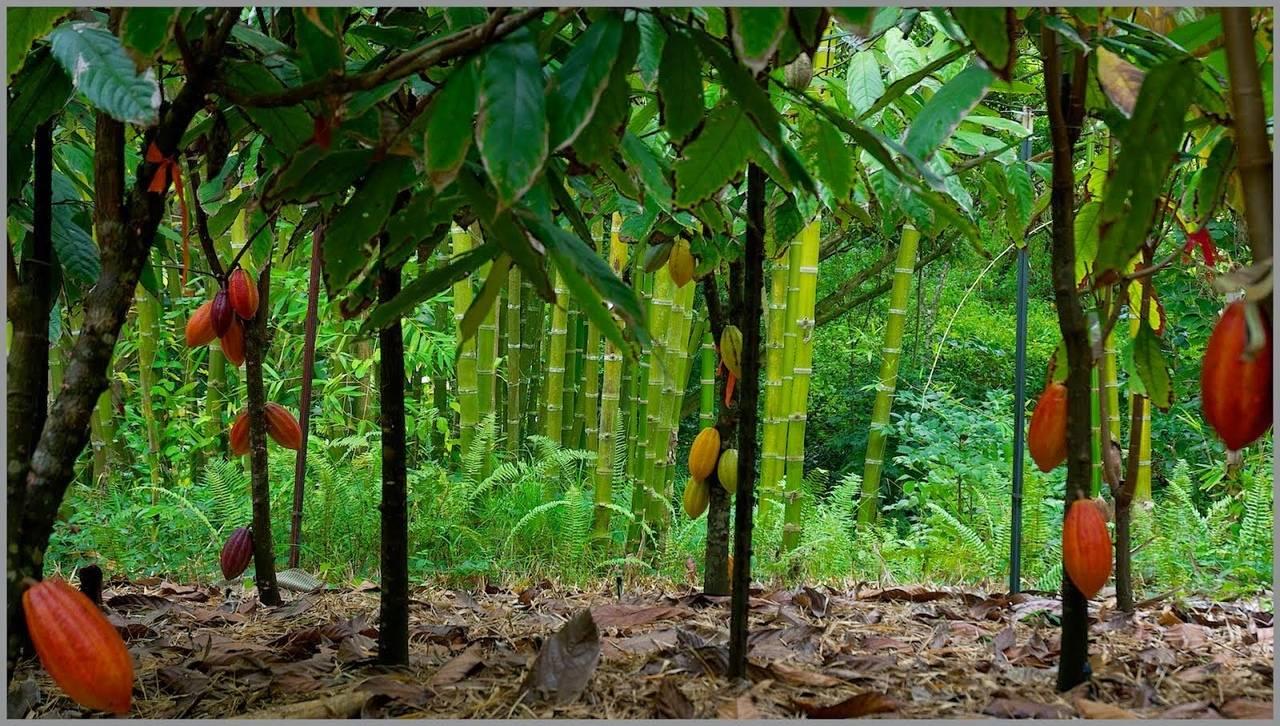 Шоколадное дерево-какао | полезные знания для всех