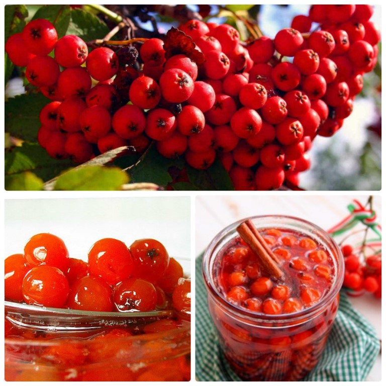 Полезные и лечебные свойства красной рябины, перечень противопоказаний