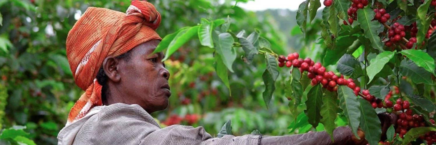 Где и как выращивают кофе