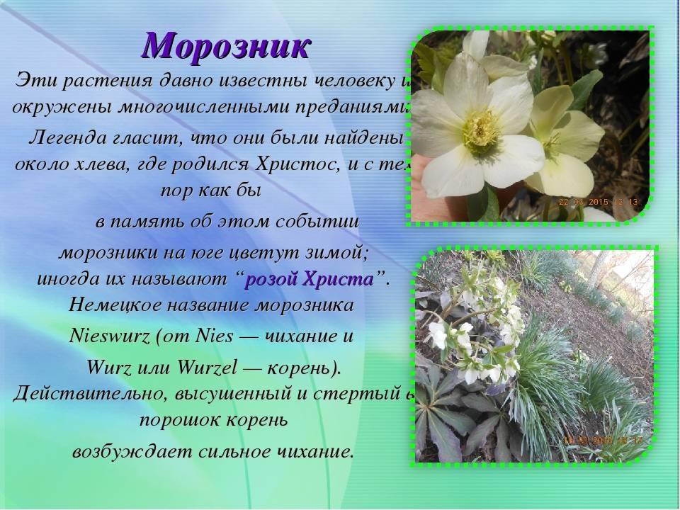 Морозник кавказский посадка и уход и размножение семенами