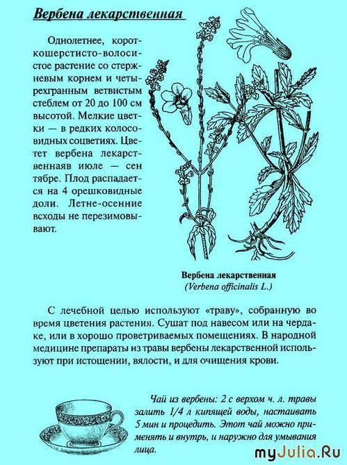 Вербена лекарственная: применение, лечебные свойства и противопоказания