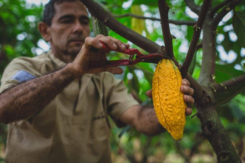 Шоколадное дерево или дерево какао