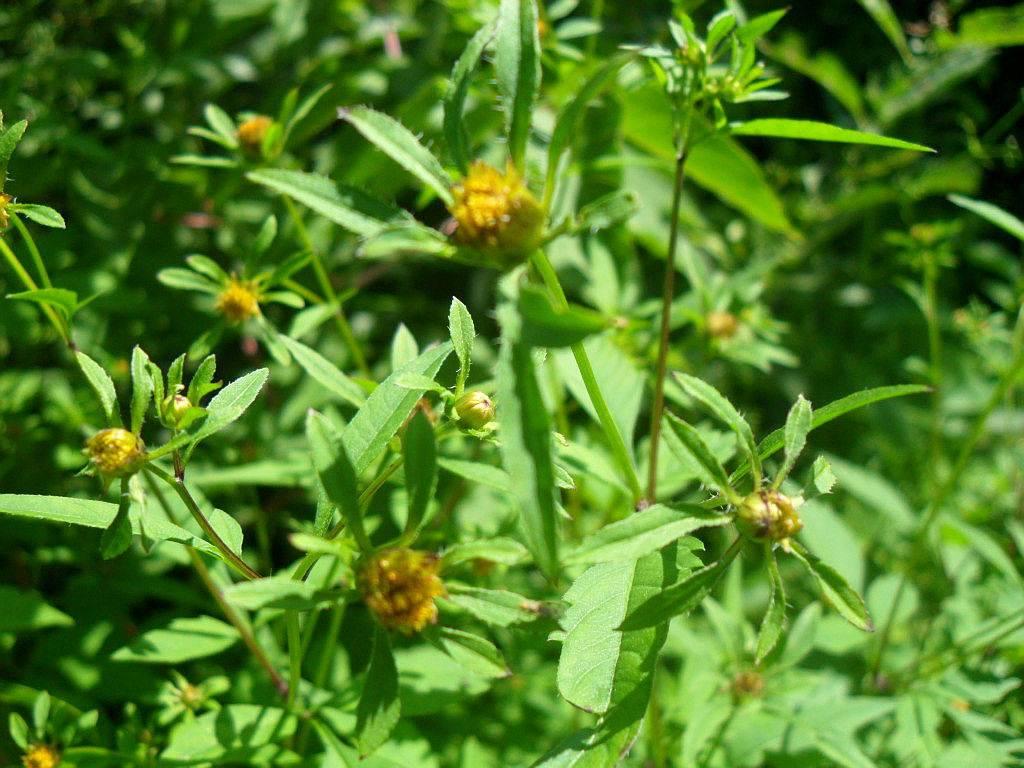Трава череда: лечебные свойства и противопоказания