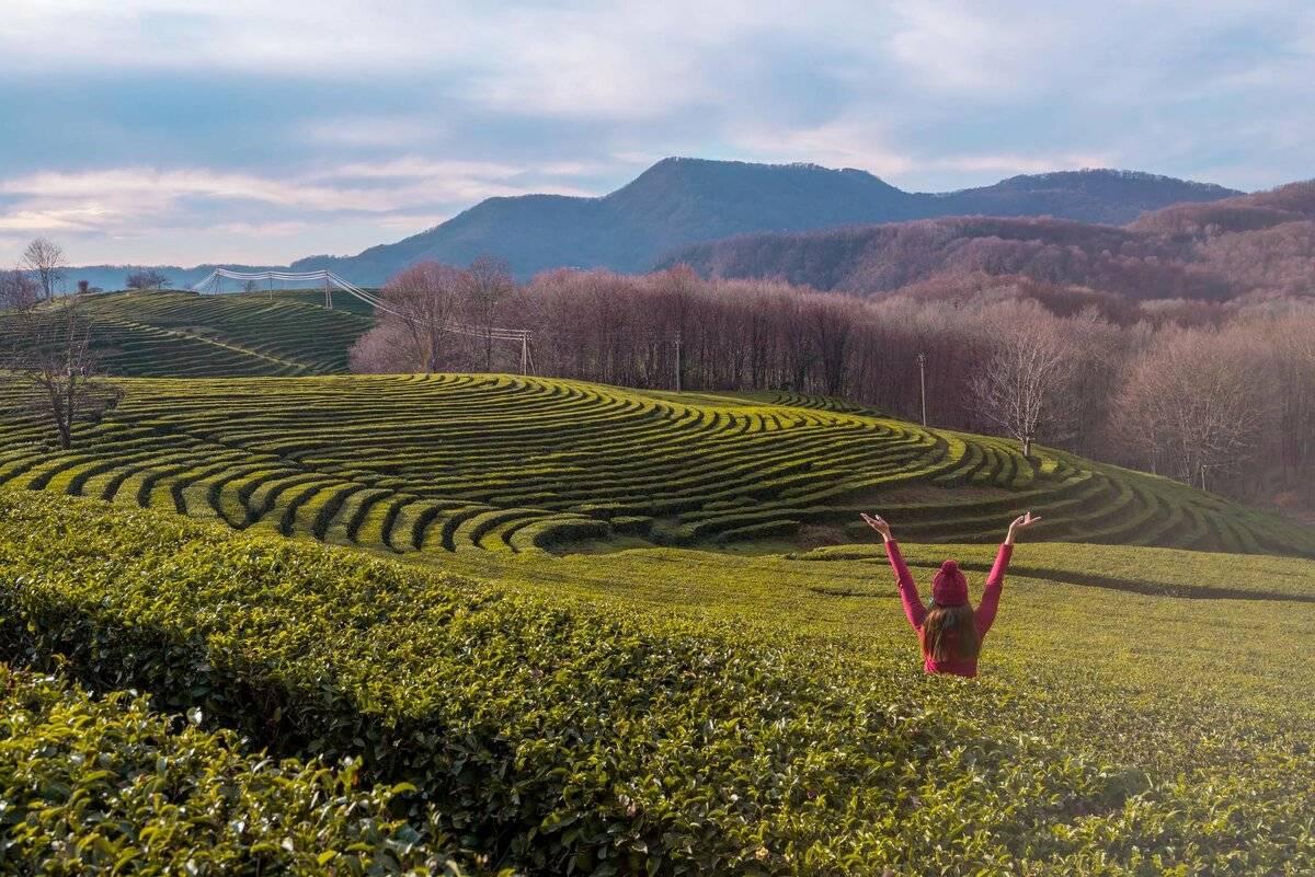 "На кубани утвердили стандарты ""краснодарского чая"" - teaterra | teaterra"