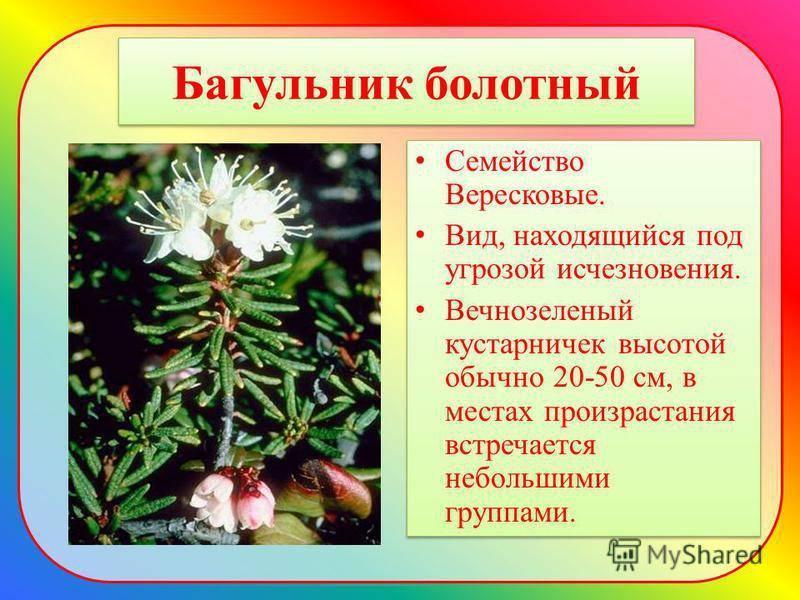 Багульник болотный— лечебные свойства и противопоказания к применению, народные рецепты, чем полезен