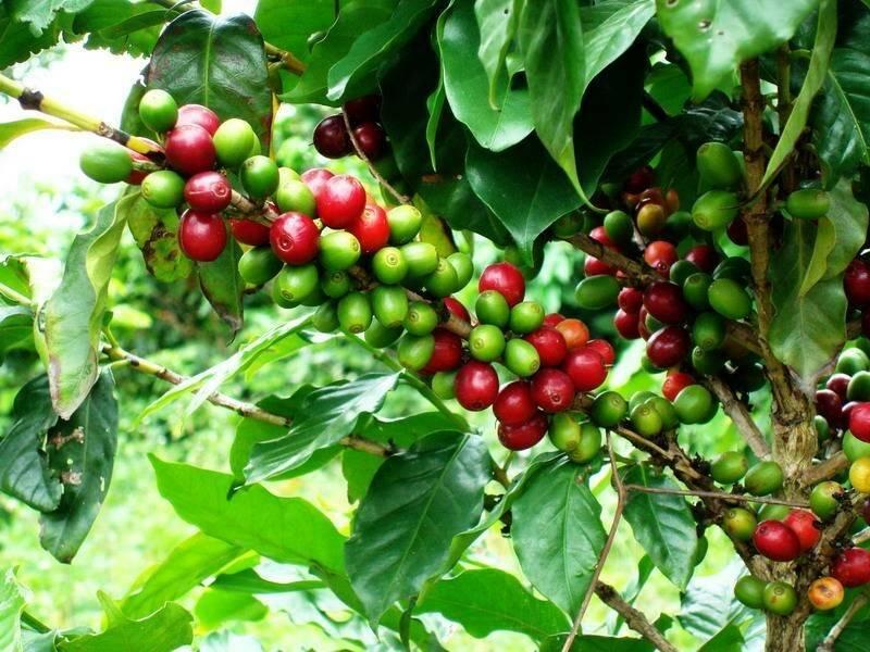Кофейное дерево уход в домашних условиях в горшке, фото, сохнет, что делать