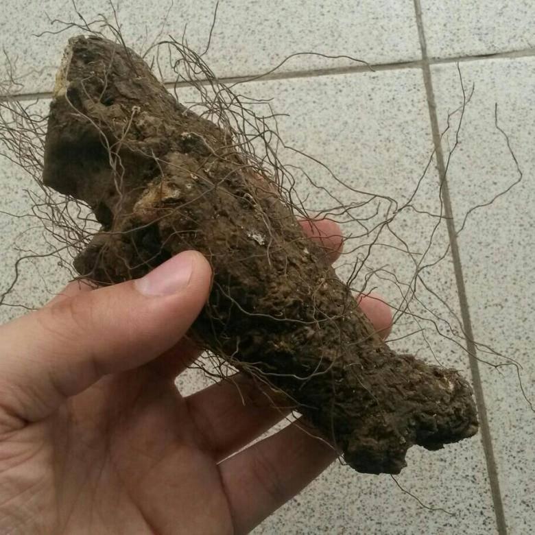 Адамов корень – лечебные свойства и применение в народной медицине, фото, рецепты