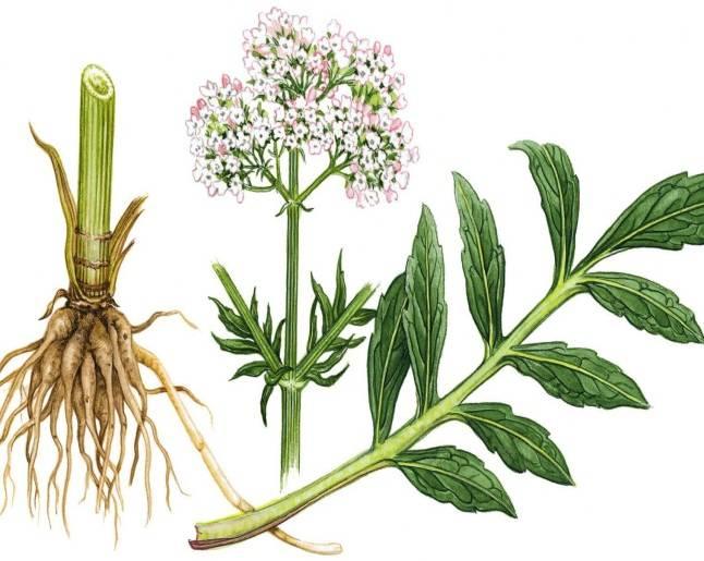Валериана лекарственная — свойства, особенности выращивания и заготовки. фото — ботаничка.ru