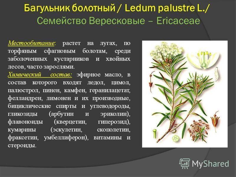 Багульник болотный: лечебные свойства и противопоказания, применение