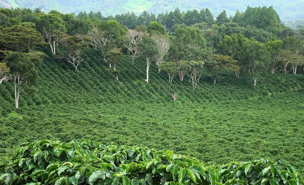 Характеристика панамского кофе