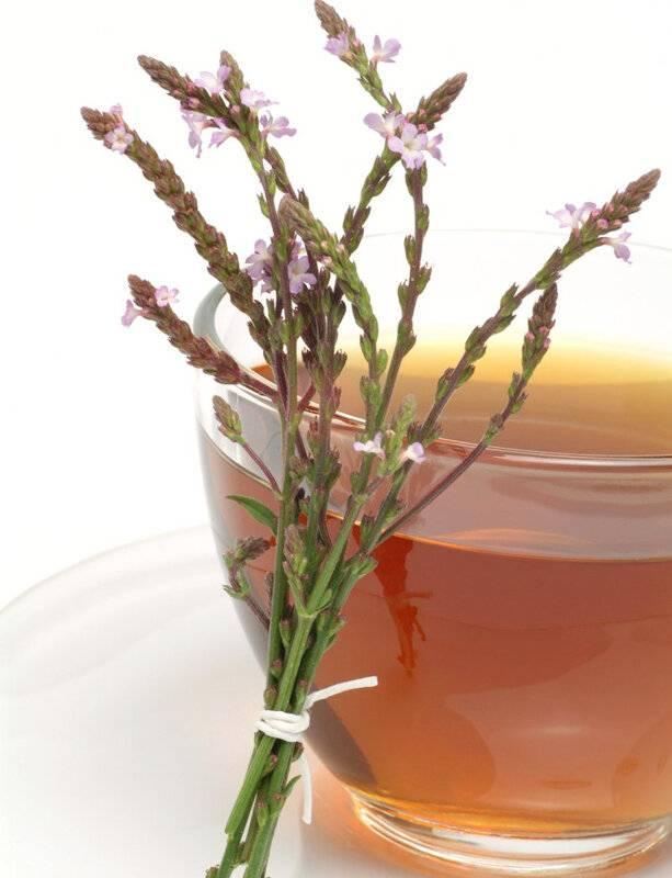 Лечебные свойства травы вербены: рецепты полезных настоек и иных лекарственных средств, способы применения для волос, а также возможный вред и противопоказаниядача эксперт