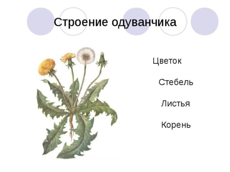 Лечебные свойства одуванчика