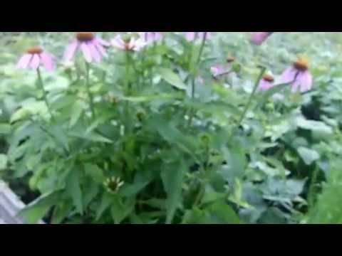 Эхинацея пурпурная настойка и применение корней