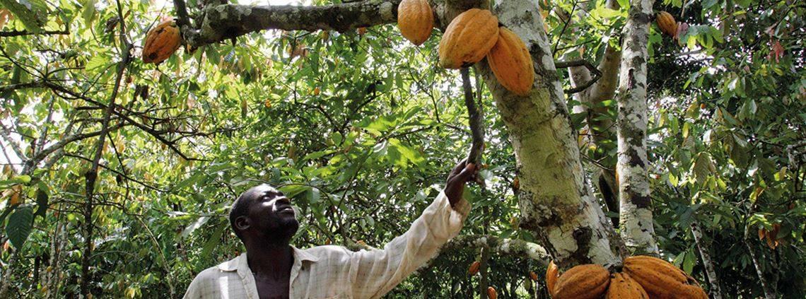 Как и где растет шоколадное дерево какао — интересные факты для детей и взрослых