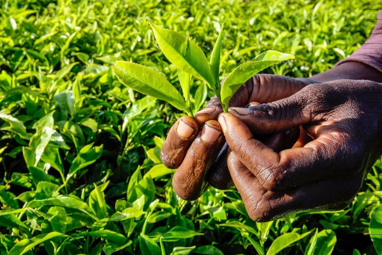 Кенийский чай: особенности напитка, как заваривать