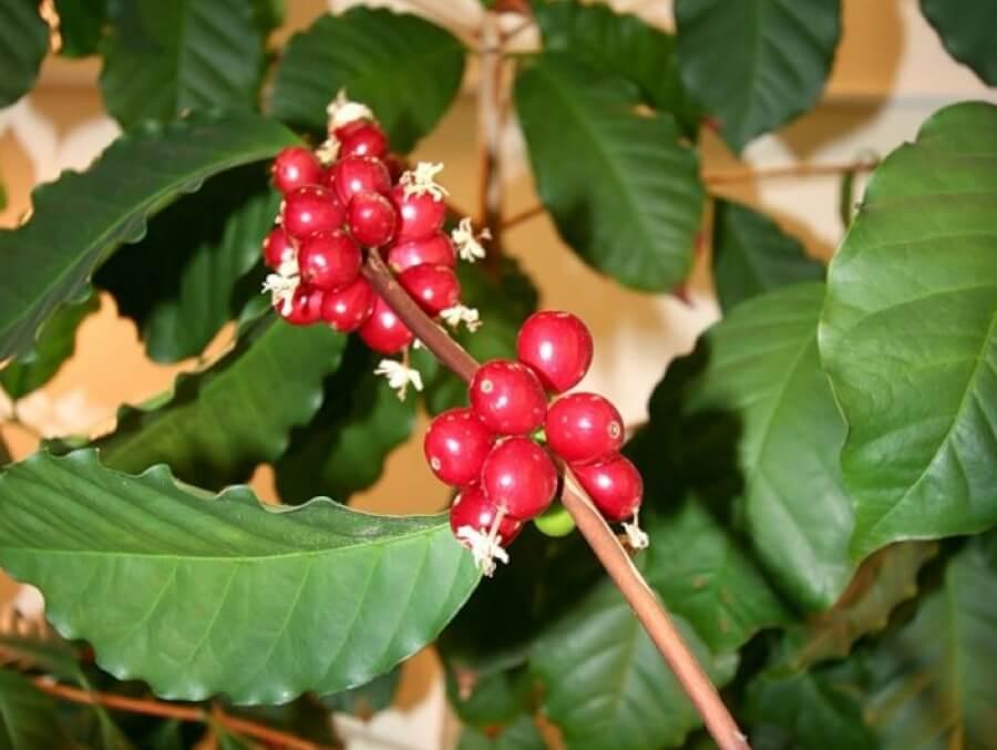 Экзотическое кофейное дерево в домашних условиях: рекомендации цветоводам по выращиванию и уходу, поливу и пересадке растения