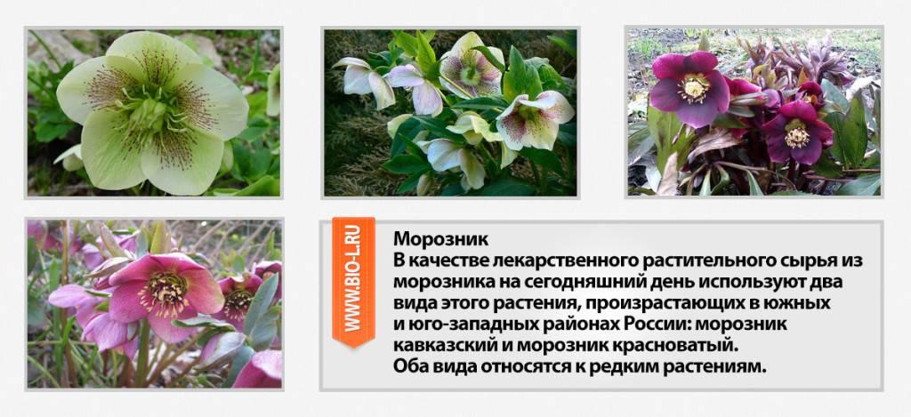 Трава морозник кавказский: ядовитый молодильный корень