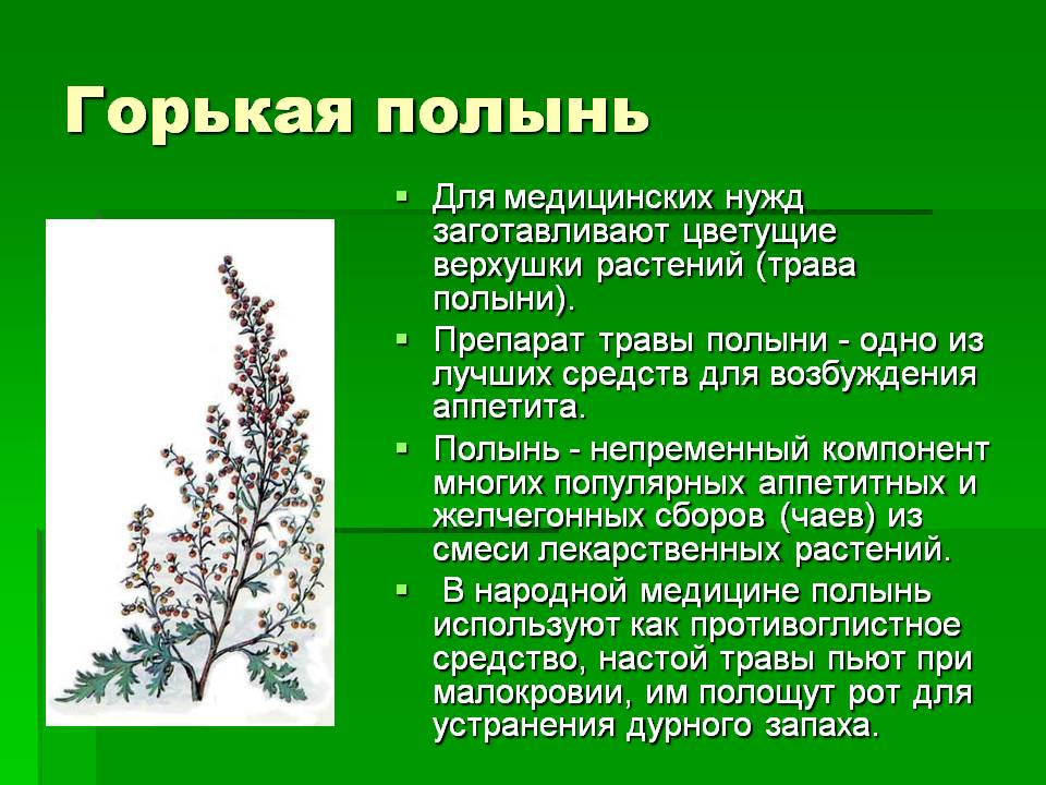 Лечебные свойства горькой полыни: применение и рецепты