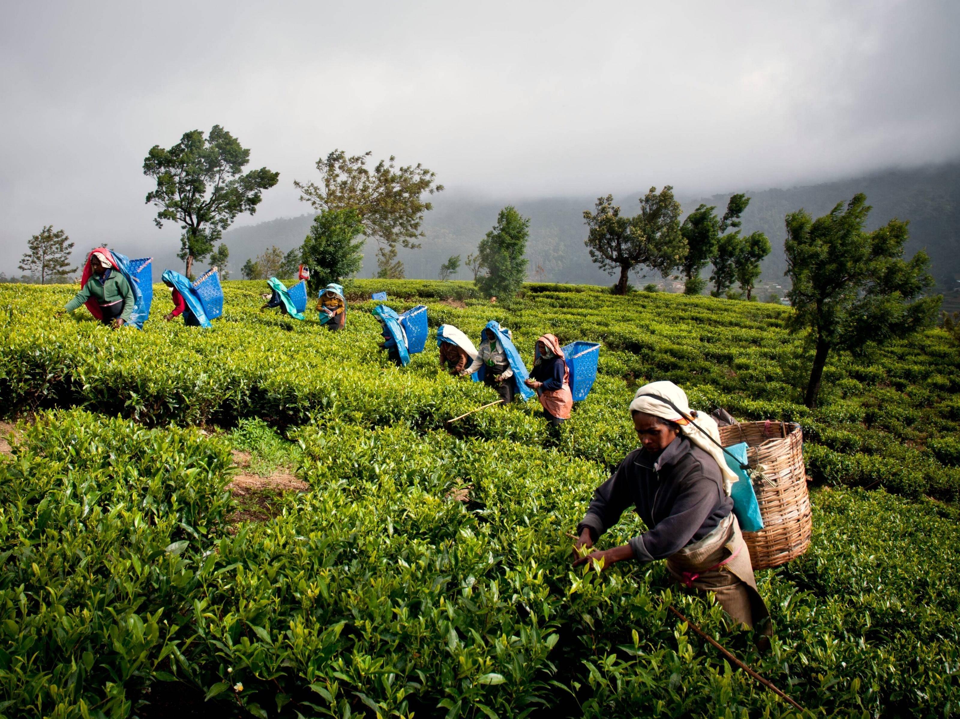Чай на шри-ланке (цейлонский чай)