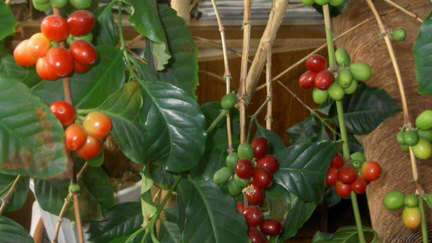 Кофейное дерево в домашних условиях: уход, болезни +отзывы