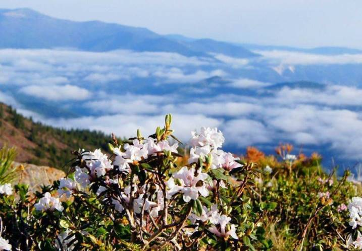 Трава саган дайля: свойства и противопоказания рододендрон адамса