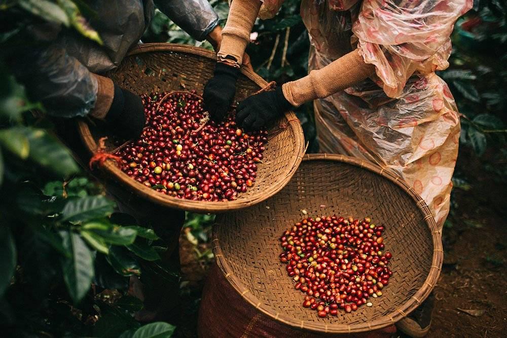 Ферментированный кофе «чон лювак»