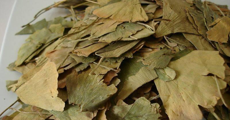 Чай гинкго билоба: полезные свойства, применение
