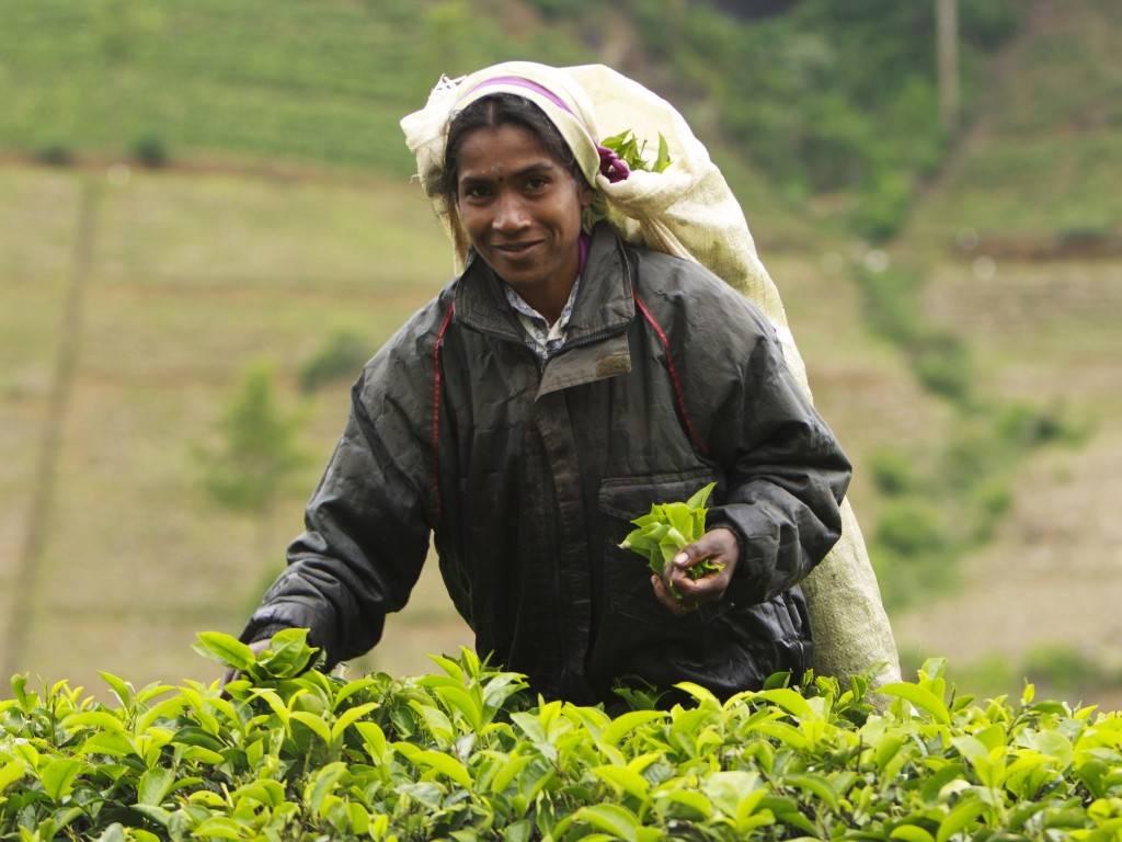 Ассам, дарджилинг, нилгири, масала - лучшие индийские чаи