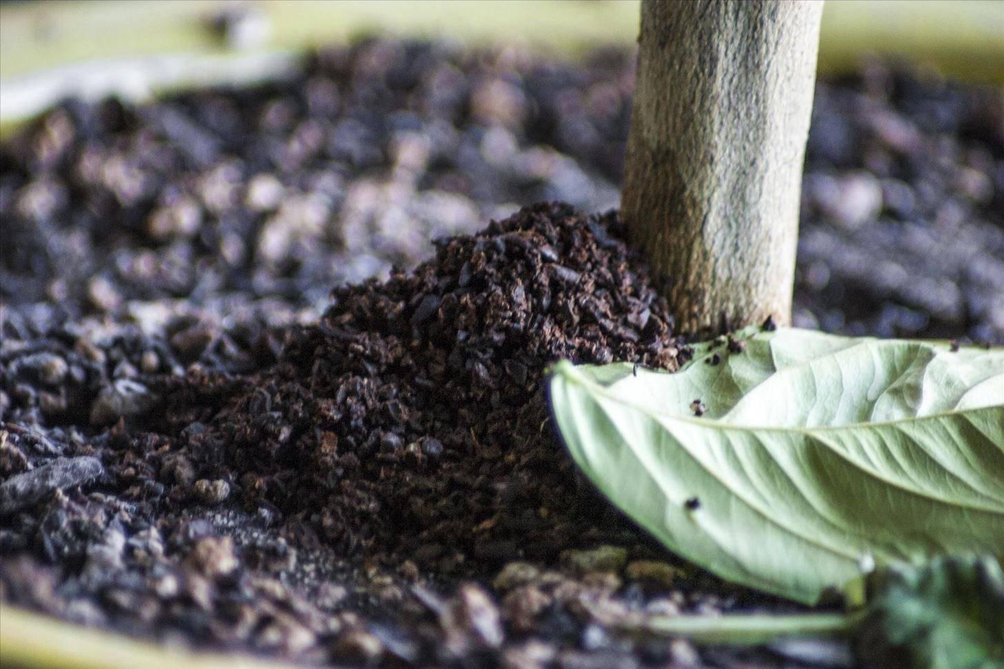 Кофе как удобрение: химические свойства, действие, применение