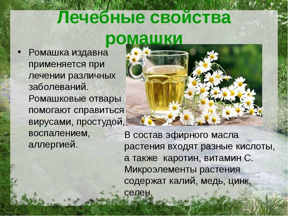 Ромашковый чай: польза и вред для организма