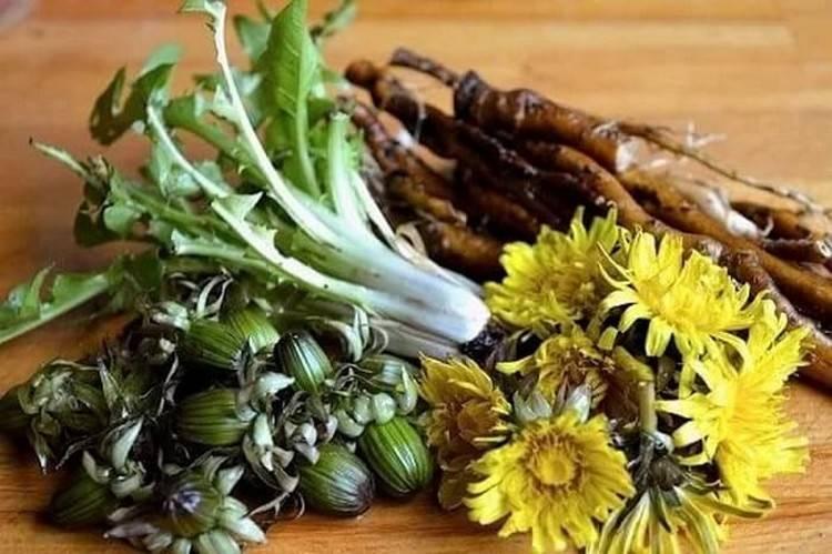 Трава одуванчик — лечебные свойства