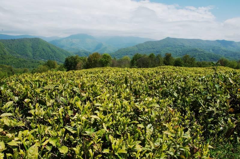 Выращивание чая: как посадить, вырастить и собрать урожай
