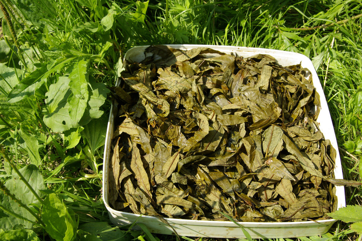 Ферментированный чай из листьев смородины в домашних условиях