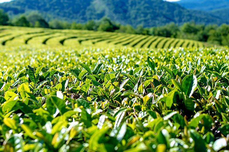 Краснодарский чай: ассортимент, какой лучше, отзывы, производители