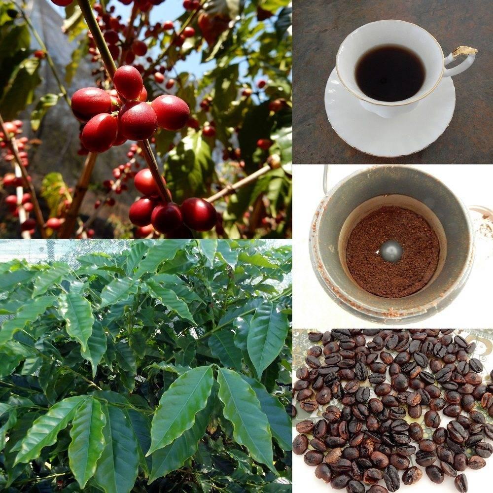 Уход за кофейным деревом в домашних условиях