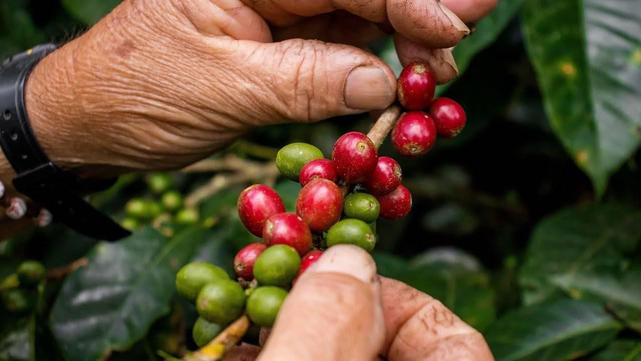Мексиканский кофе: сорта, рецепты. настоящий кофе из мексики