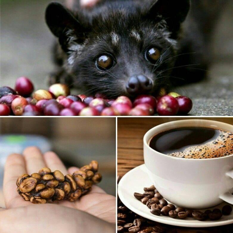 Обзор кофе из кала животных: самый дорогой кофе в мире из помета