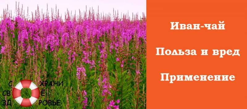 Иван-чай, полезные свойства и противопоказания для женщин