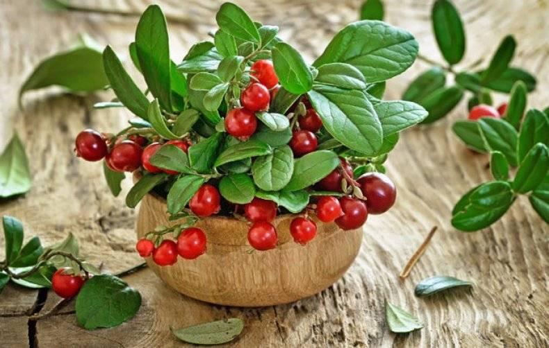 Чай, настой, отвар и спиртовая настойка из листьев брусники: инструкция и рецепт приготовления