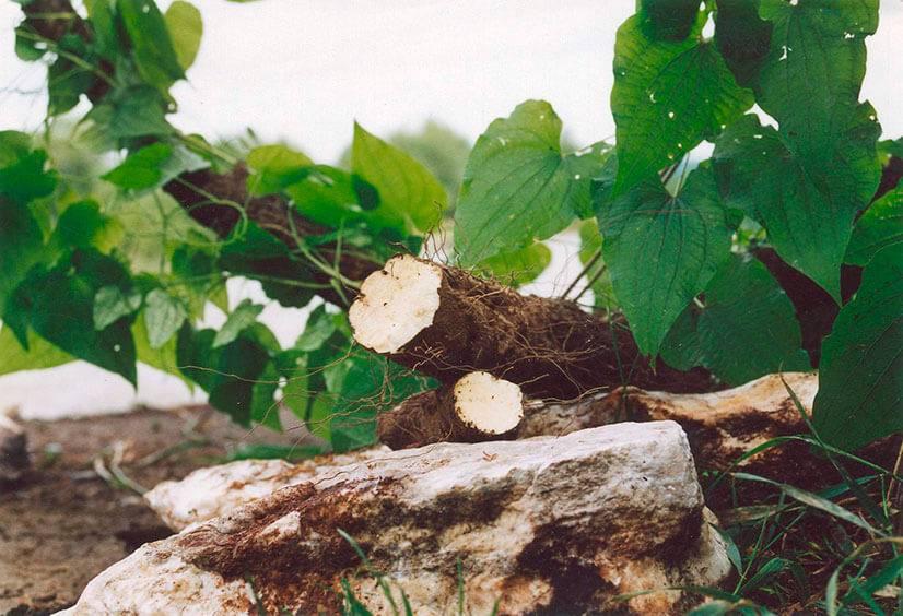 Адамов корень: рецепты приготовления настоек для суставов и других средств, способы лечения