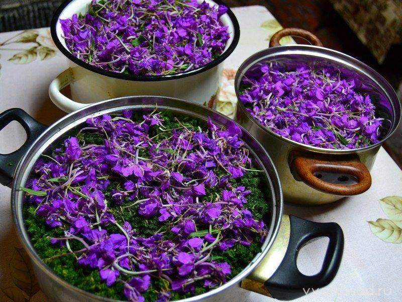 Чай кипрей: приготовление, ферментация, полезные свойства чая из кипрея