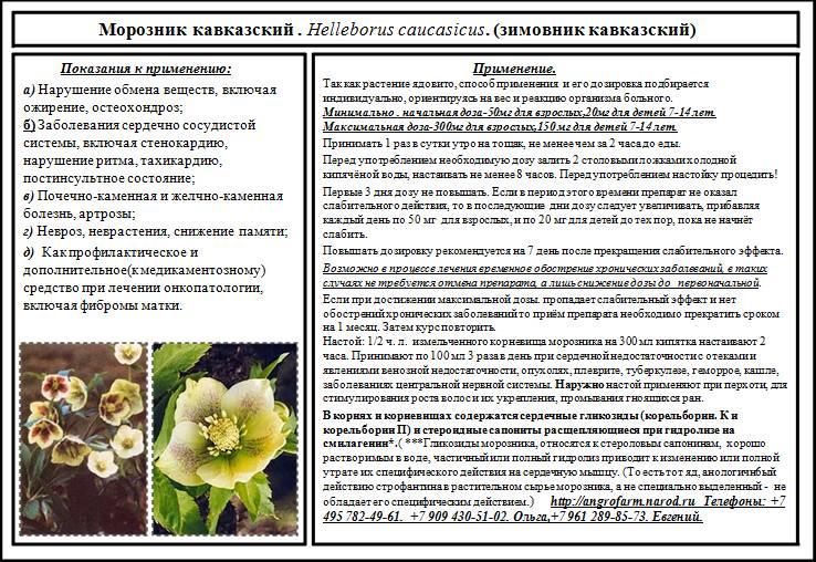 Морозник кавказский: применение и противопоказания, безопасные дозировки и рецепты