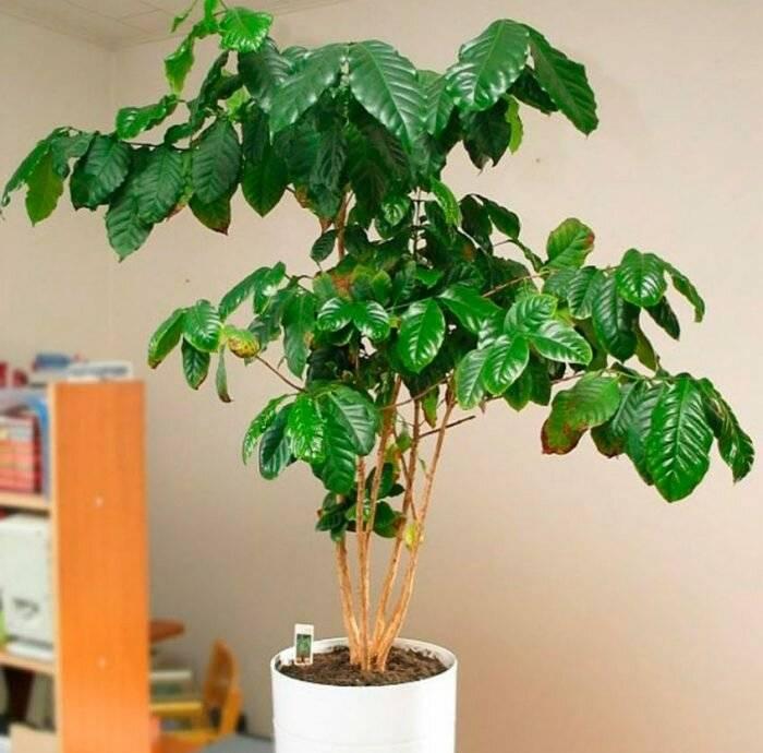 Кофейное дерево: посадка, уход и выращивание