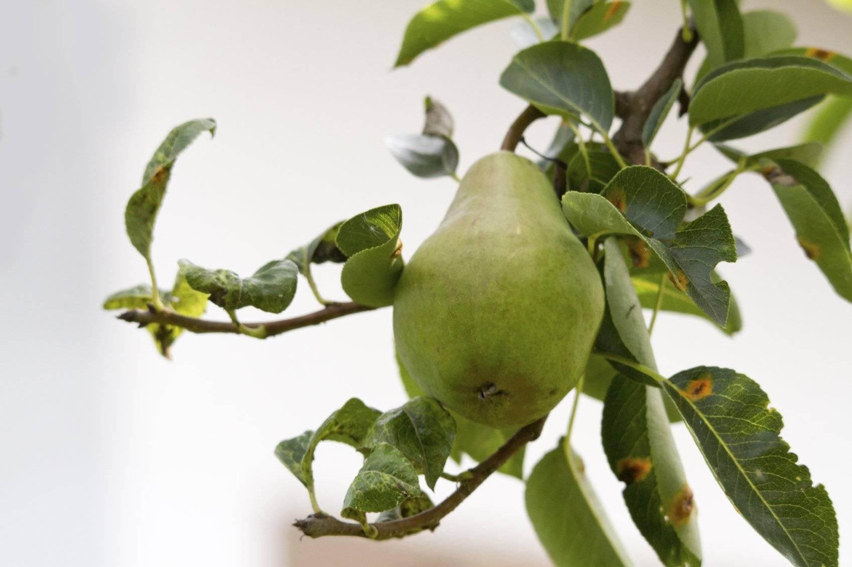 Веточки груши лечебные свойства чая