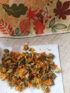 Как правильно собирать и сушить цветки календулы