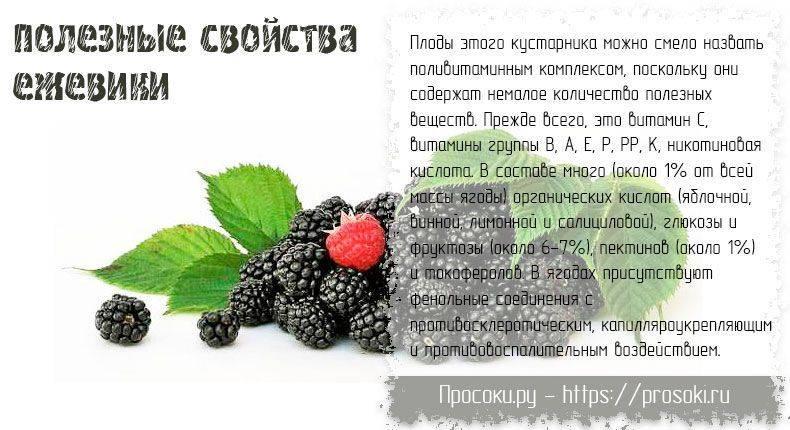 Лечебные свойства и противопоказания применения листьев шелковицы