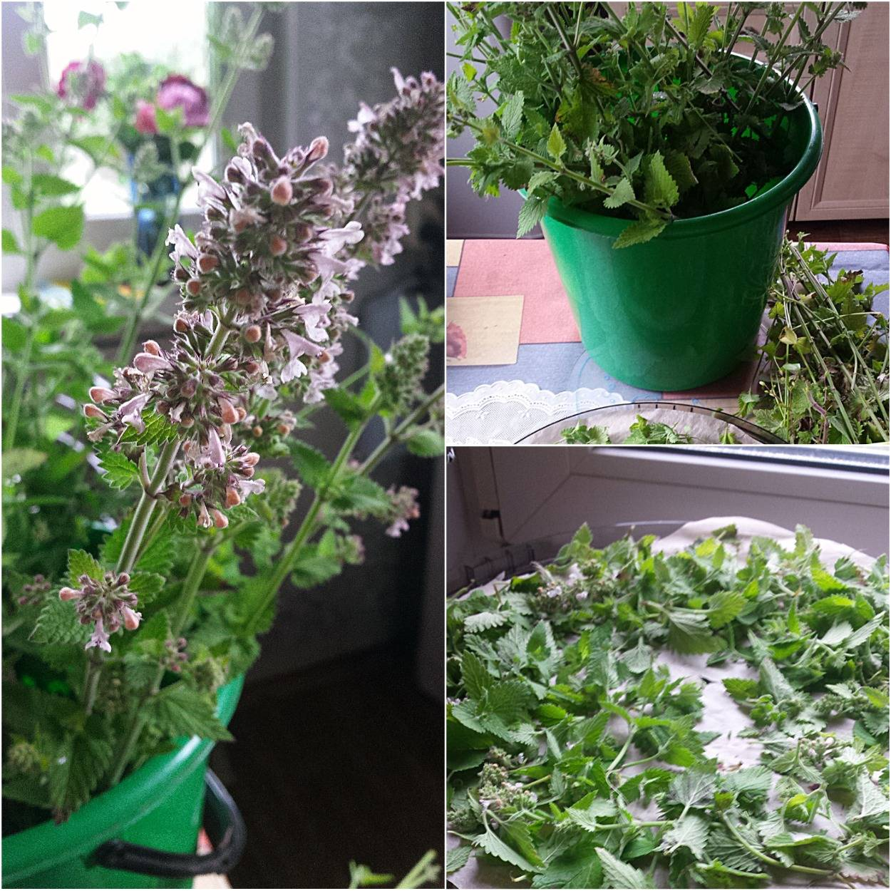 Чабрец — когда собирать и как сушить: в чем хранить сушеные травы и как их приготовить, для чего нужен тимьян | domovoda.club
