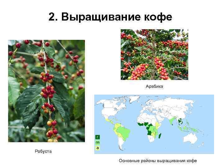 Особенности выращивания кофе: условия для роста и страны-экспортеры